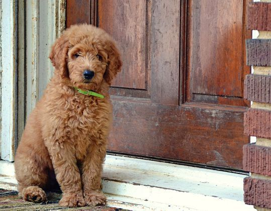 goldendoodle breeders in florida